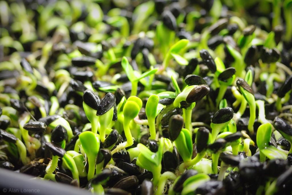 how to grow broccoli sprouts in a tray no soil