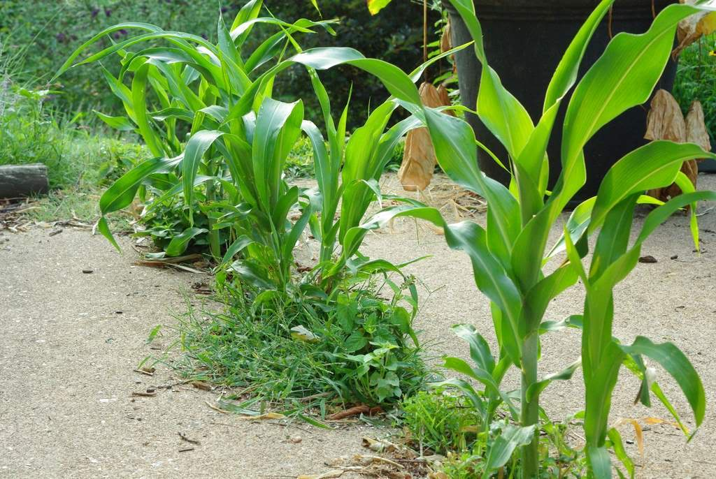 Weed that looks like corn stalk