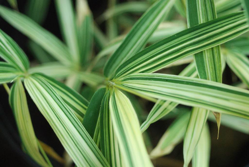 So You Don T Like Variegated Bamboo