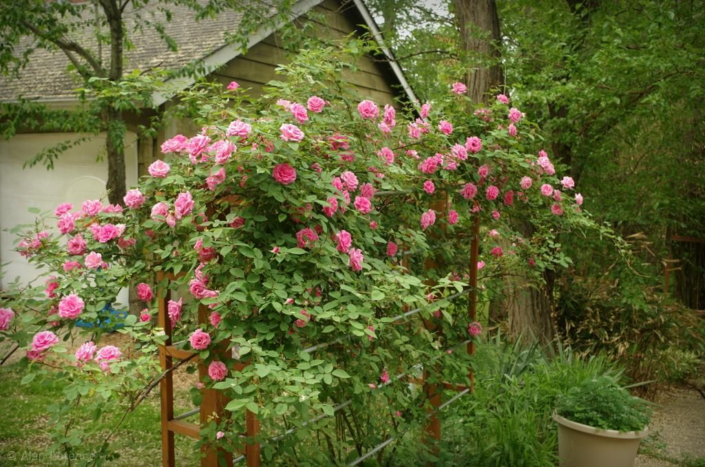 Love Garden Roses: It's Not Work, It's Gardening