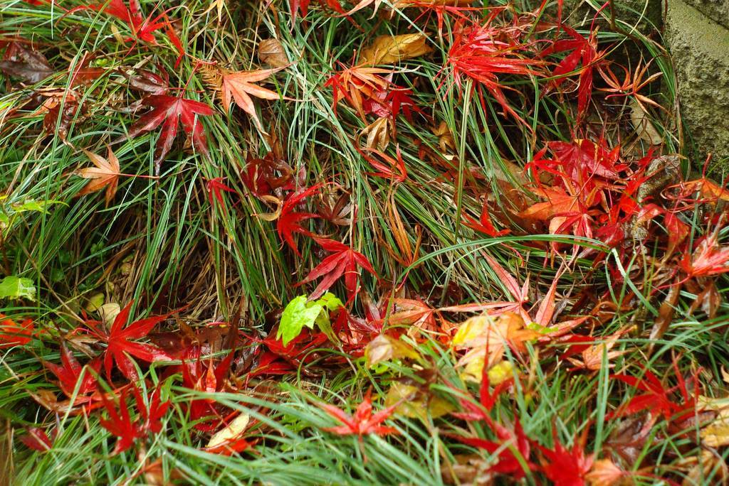 Maples And Autumn Have Thing For Each >> It's Not Work, It's Gardening!: Color won't stop