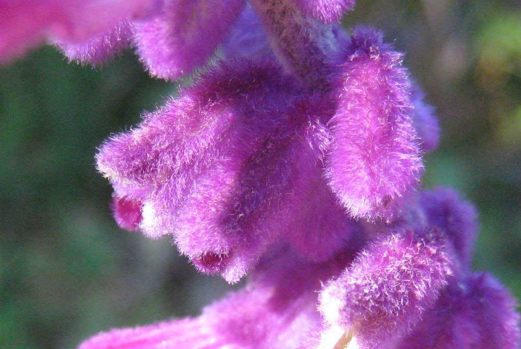 Its not work its gardening fuzzy fuzzy purple purple when i see these flowers and calyces i get a strong desire to watch some childrens television i also start dreaming about planting a whole bed of these mightylinksfo